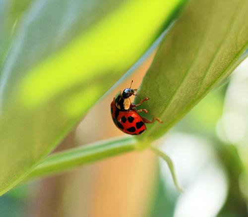 Lady Beetle Adult