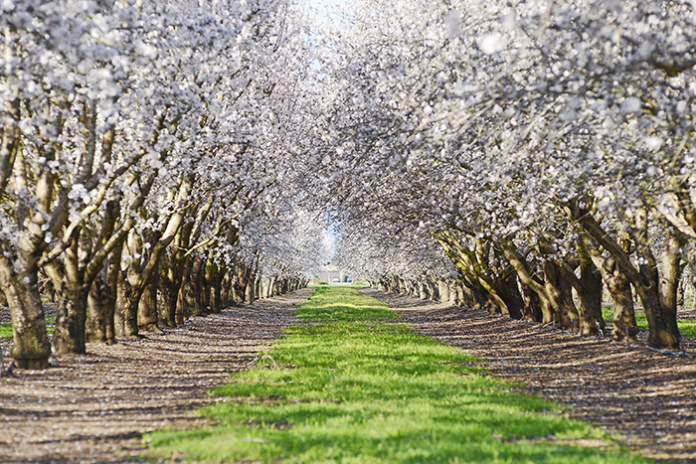 almond orchard covid update