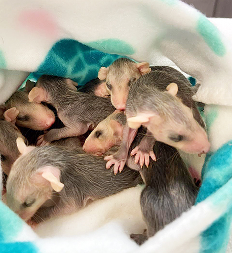 possum animals
